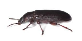 Escarabajo de harina (destructor del tribolio) Fotos de archivo libres de regalías