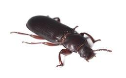 Escarabajo de harina (destructor del tribolio) Fotografía de archivo libre de regalías