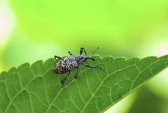 Escarabajo de hocico Foto de archivo