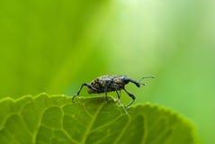 Escarabajo de hocico Imagen de archivo