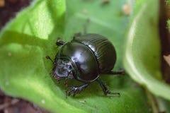 Escarabajo de hoja Foto de archivo libre de regalías