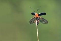 Escarabajo de hoja Fotografía de archivo libre de regalías