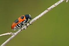 Escarabajo de hoja Imagenes de archivo