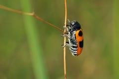 Escarabajo de hoja Fotos de archivo libres de regalías