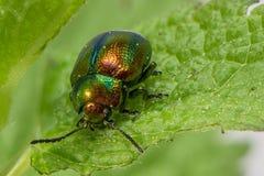escarabajo de hoja de la Muerto-ortiga Fotografía de archivo libre de regalías