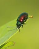 Escarabajo de hoja del Apocynum androsaemifolium Imagenes de archivo