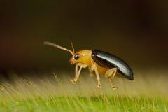 Escarabajo de hoja minúsculo que flota en licencia melenuda Fotos de archivo libres de regalías