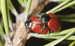 Escarabajo de hoja rojo del álamo Imagen de archivo libre de regalías