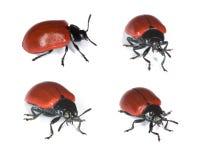 Escarabajo de hoja rojo del álamo. Fotos de archivo