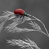 Escarabajo de hoja rojo del álamo, populi de Chrysomela Imagen de archivo libre de regalías