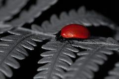 Escarabajo de hoja rojo del álamo, populi de Chrysomela Fotografía de archivo libre de regalías