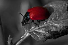 Escarabajo de hoja rojo del álamo, populi de Chrysomela Imagen de archivo