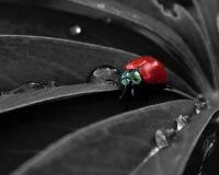 Escarabajo de hoja rojo del álamo, populi de Chrysomela Fotos de archivo