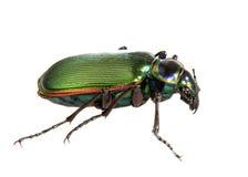 Escarabajo de investigador ardiente aislado en Whitte Imagen de archivo