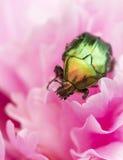 Escarabajo de junio Foto de archivo
