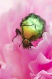 Escarabajo de junio Fotografía de archivo