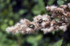 Escarabajo de junio en un flowe fotos de archivo libres de regalías