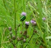 Escarabajo de junio verde Foto de archivo