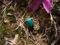Escarabajo de la aguamarina Imagen de archivo