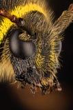Escarabajo de la avispa, escarabajo, arietis de Clytus Imagen de archivo