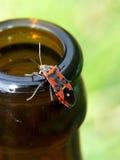 Escarabajo de la cerveza Imágenes de archivo libres de regalías