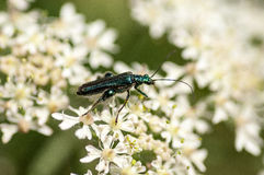Escarabajo de la flor del retrato del insecto Fotografía de archivo