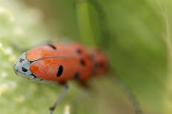 Escarabajo de la mala hierba de la leche de detrás Imágenes de archivo libres de regalías