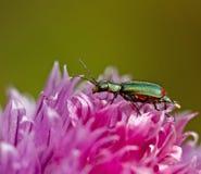 Escarabajo de la malaquita Foto de archivo