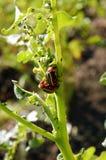 Escarabajo de la patata Fotos de archivo libres de regalías