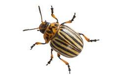 Escarabajo de la patata Foto de archivo libre de regalías