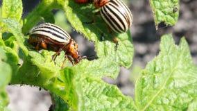 Escarabajo de la patata metrajes