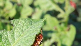 Escarabajo de la patata almacen de metraje de vídeo