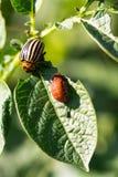 Escarabajo de la patata en la hoja de la patata Imagen de archivo libre de regalías