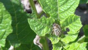 Escarabajo de la patata en la hoja de la patata metrajes