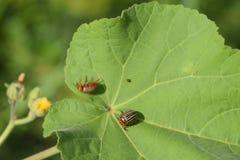 Escarabajo de la patata en una hoja de una planta Abeja rayada adulta de Colorado Imágenes de archivo libres de regalías