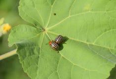 Escarabajo de la patata en una hoja de una planta Abeja rayada adulta de Colorado Imagen de archivo libre de regalías