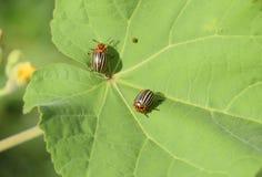Escarabajo de la patata en una hoja de una planta Abeja rayada adulta de Colorado Imagenes de archivo