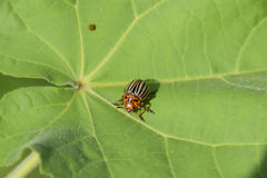 Escarabajo de la patata en una hoja de una planta Abeja rayada adulta de Colorado Foto de archivo libre de regalías
