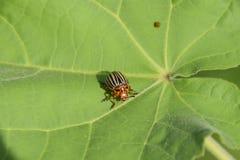 Escarabajo de la patata en una hoja de una planta Abeja rayada adulta de Colorado Fotos de archivo