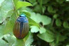 Escarabajo de la patata en una hoja verde imágenes de archivo libres de regalías