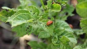 Escarabajo de la patata que come la hoja de la patata almacen de metraje de vídeo
