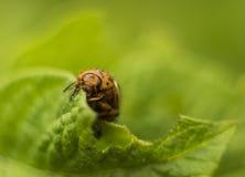 Escarabajo de la patata que come la hoja fresca verde de la patata Imágenes de archivo libres de regalías