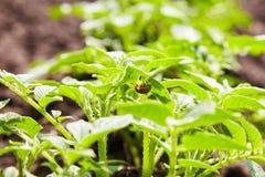 Escarabajo de la patata que oculta debajo de la hoja de la patata El escarabajo rayado de la patata de Colorado imagen de archivo