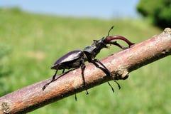 Escarabajo de macho Fotografía de archivo