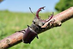 Escarabajo de macho Fotos de archivo libres de regalías