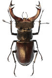 Escarabajo de macho Fotos de archivo