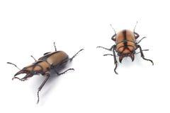 Escarabajo de macho Foto de archivo