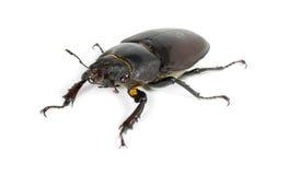 Escarabajo de macho Imagen de archivo