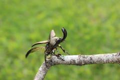 Escarabajo de macho (adolphinae de Lamprima) Imagenes de archivo