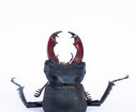 Escarabajo de macho aislado en blanco imagenes de archivo